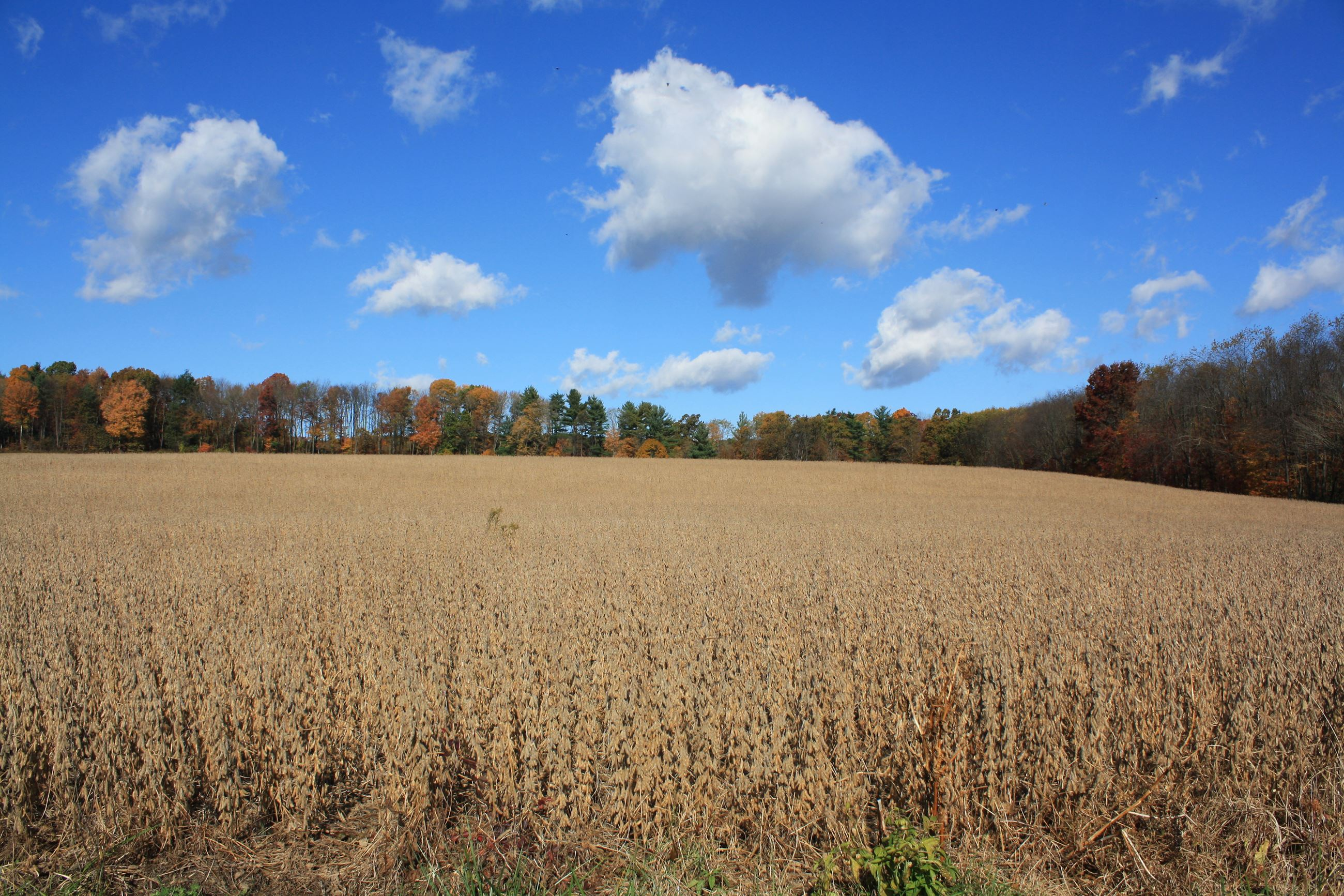 Crop field, blue sky, white clouds